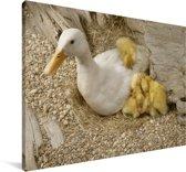 Moedereend en haar kuikens in een nestje Canvas 180x120 cm - Foto print op Canvas schilderij (Wanddecoratie woonkamer / slaapkamer) XXL / Groot formaat!