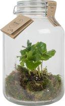 Kamerplant van Botanicly – Closed Jar 5L - Coffea Arabice – Hoogte: 30 cm
