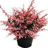 Berberis Thunbergii 'Rose Glow' - Zuurbes 30-40 cm in pot