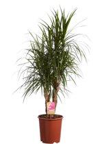 Hee Dat Is Het | Drakenbloedboom  Dracaena marginata Pot 27cm; Hoogte incl. pot 130cm; Halfschaduw; Luchtzuiverend