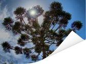Zonnestralen tussen de parana pine takken Poster 160x120 cm - Foto print op Poster (wanddecoratie woonkamer / slaapkamer) XXL / Groot formaat!