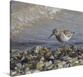Paarse strandloper opzoek naar voedsel Canvas 90x60 cm - Foto print op Canvas schilderij (Wanddecoratie woonkamer / slaapkamer)
