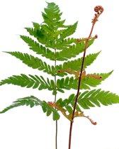 Dryopteris 'erythrosora' in 2 Ltr. pot | Herfstvaren | Prachtige varen! | Decoratieve bladen