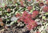 12 stuks Acaena microphylla 'Kupferteppich' Stekelnootje