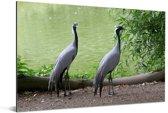 Koppel van jufferkraanvogels Aluminium 90x60 cm - Foto print op Aluminium (metaal wanddecoratie)