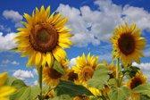 Papermoon Sunflowers Vlies Fotobehang 400x260cm 8-Banen