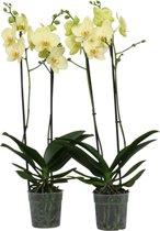2 stuks Phalaenopsis Alassio 65cm hoog 2 takken