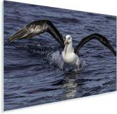 Reuzenalbatros vliegt uit het water Plexiglas 180x120 cm - Foto print op Glas (Plexiglas wanddecoratie) XXL / Groot formaat!