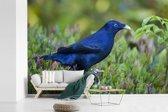 Fotobehang vinyl - Satijnblauwe prieelvogel tussen de planten breedte 600 cm x hoogte 400 cm - Foto print op behang (in 7 formaten beschikbaar)