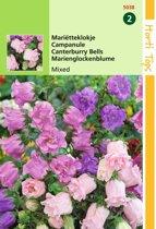 2 stuks Hortitops Campanula Medium Calycanthema Gemengd