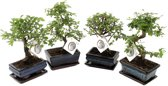 Swampworld Chinese Bonsai boompjes - 2 stuks  - In keramieken schaal - Hoogte ↕ 20 - 30 cm