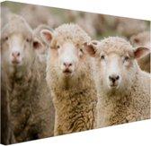 Drie witte schapen Canvas 30x20 cm - klein - Foto print op Canvas schilderij (Wanddecoratie woonkamer / slaapkamer) / Dieren Canvas Schilderijen