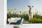 Fotobehang vinyl - Lammetje tussen de gele bloemen breedte 420 cm x hoogte 280 cm - Foto print op behang (in 7 formaten beschikbaar)
