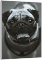 Plexiglas –Pug in het Zwart-Wit – 80x120cm  (Wanddecoratie op Plexiglas)