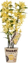 Bamboo Orchid Sparkly Champagne