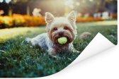 Yorkshire Terrier ligt op het gras met een tennisbal in zijn mond Poster 120x80 cm - Foto print op Poster (wanddecoratie woonkamer / slaapkamer) / Huisdieren Poster