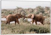 Plexiglas – Twee Spelende Olifanten– 120x80 (Wanddecoratie op Plexiglas)