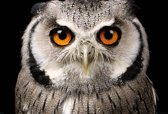 Poster-Uil-Owl (61x91.5cm)