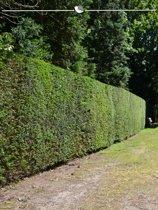 Venijnboom Taxus baccata 100-120 cm, 10x haagplant, incl. bezorging