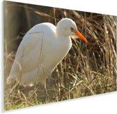 Een prachtige witte ibis met een oranje snavel Plexiglas 90x60 cm - Foto print op Glas (Plexiglas wanddecoratie)