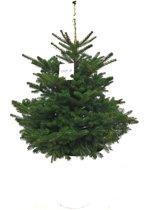 Kerstboom. Deze kerstbomen zijn opgepot met kluit. Kerstboom wordt kant en klaar aangeleverd in sierpot. Abies Koreana, zilverspar met kluit en sierpot.
