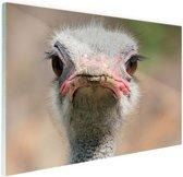 Struisvogel Portret van voren Glas 90x60 cm - Foto print op Glas (Plexiglas wanddecoratie)
