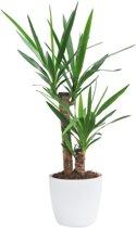 Yucca Elephantipes incl. gratis witte decoratieve pot