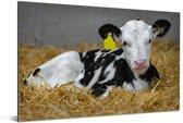 Schattig kalfje van een Friese koe ligt in het stro Aluminium 60x40 cm - Foto print op Aluminium (metaal wanddecoratie)