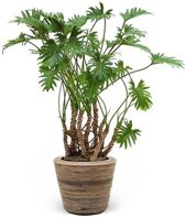 Philodendron Xanadu Luchtwortels in Rattan Pot
