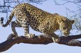 Fotobehang Leopard Tree | XL - 208cm x 146cm | 130g/m2 Vlies