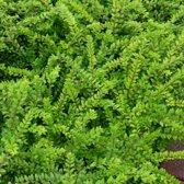 100 x Lonicera nitida 'Maigrun' - Struikkamperfoelie in 9x9cm pot (stuksprijs €1,80)