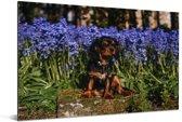 Een Cavalier King Charles-spaniël tussen de blauwe bloemen Aluminium 180x120 cm - Foto print op Aluminium (metaal wanddecoratie) XXL / Groot formaat!