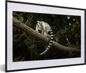 Foto in lijst - Ringstaartmaki in zijn natuurlijke habitat fotolijst zwart met witte passe-partout 60x40 cm - Poster in lijst (Wanddecoratie woonkamer / slaapkamer)