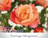 Rosa 'Freisinger Morgenröte'