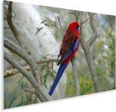 Knalrode parkiet in een boom Plexiglas 90x60 cm - Foto print op Glas (Plexiglas wanddecoratie)