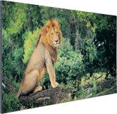 Leeuw zit op een tak Aluminium 180x120 cm - Foto print op Aluminium (metaal wanddecoratie) XXL / Groot formaat!