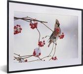 Foto in lijst - Japanse pestvogel op een tak met rode bessen fotolijst zwart met witte passe-partout klein 40x30 cm - Poster in lijst (Wanddecoratie woonkamer / slaapkamer)