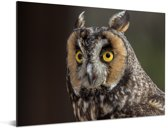 Close-up foto van een ransuil Aluminium 40x30 cm - klein - Foto print op Aluminium (metaal wanddecoratie)
