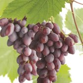 Vitis vinifera Regent