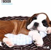 Boxer Kalender 2020 Modern