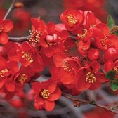 Chaenomeles Superba 'Crimson And Gold' - Dwergkwee 30-40 cm in pot