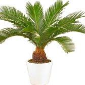 Cycas Revoluta Palm In Overpot. Ca. 80cm Hoog. 24cm Pot. Mooie Kamer of Kantoor Plant.