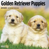 Golden Retriever Puppies Cal 2020