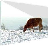 Bruine koe op zoek naar eten Glas 60x40 cm - Foto print op Glas (Plexiglas wanddecoratie)