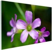 Klein paars bloempje Glas 60x40 cm - Foto print op Glas (Plexiglas wanddecoratie)
