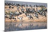 Grote zwerm jufferkraanvogels Aluminium 90x60 cm - Foto print op Aluminium (metaal wanddecoratie)