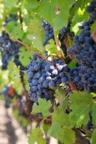Ripe Purple Grapes on the Vine in a Vineyard Journal