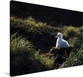 Reuzenalbatros kuikentje in zijn nest Canvas 60x40 cm - Foto print op Canvas schilderij (Wanddecoratie woonkamer / slaapkamer)