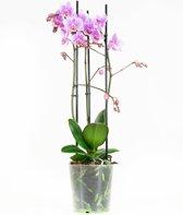 Orchidee Multiflora Rosanna 40cm hoog 3 takken