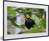 Foto in lijst - Treurmaina in een boom vol met bladeren fotolijst zwart met witte passe-partout 60x40 cm - Poster in lijst (Wanddecoratie woonkamer / slaapkamer)